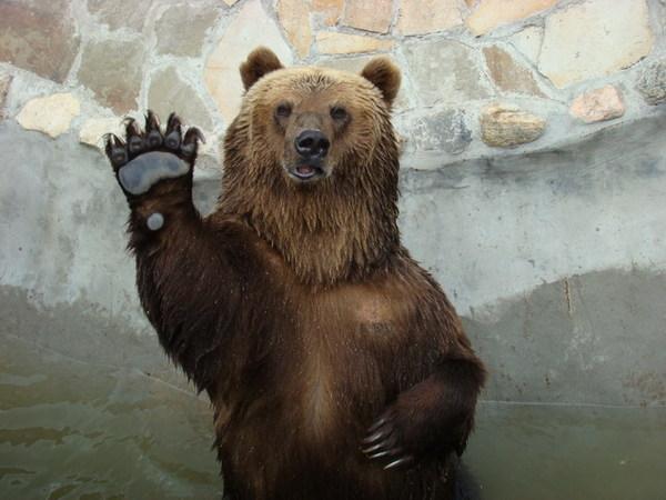 фото медведя с поднятой лапой того, галька является