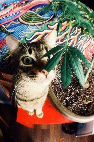Кот курит марихуану сигареты с марихуаны